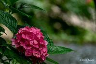長谷寺紫陽花 - toshi の ならはまほろば