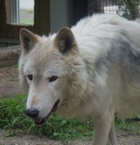 7月10日の円山動物園のオオカミとゾウとオランとヒグマ - 黄金絹毛鼠(コガネキヌゲネズミ)