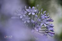 Agapanthus - + Spice to life