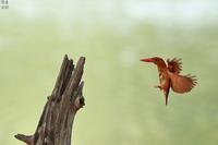 アカショウビン飛びつく - 野鳥公園