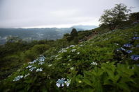 秩父美の山公園のアジサイと雲海ラスト - 日本あちこち撮り歩記