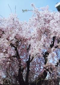 ★ 桜 - うちゅうのさいはて
