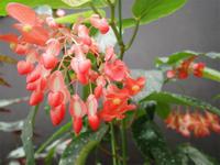 「ベゴニア展」は明日まで!! - 手柄山温室植物園ブログ 『山の上から花だより』