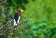 一人ぼっちの赤頭鷺(アカガシラサギ) - 野鳥などの撮影記録