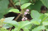 20200711 【植物】ヘクソカズラ - 杉本敏宏のつれづれなるままに