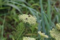 20200711 【植物】ニンジンの花にカメムシが - 杉本敏宏のつれづれなるままに