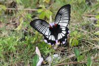 沖縄本島北部遠征その15ナガサキアゲハ - Sky Palace -butterfly garden- II