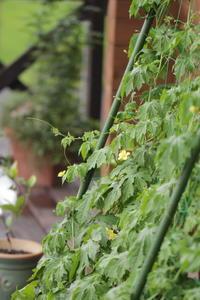 苦瓜グリーンカーテン - cloverの山のアトリエ