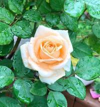 暴風の中の帰宅( ;  ; )とシャネルでお買い物♫ - 薪割りマコのバラの庭