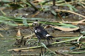 コムクドリがやってきた!★先週末の鳥類園(2020.7.11~12) - 葛西臨海公園・鳥類園Ⅱ