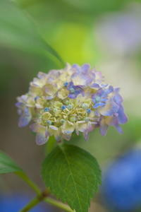 紫陽花 - tokoのblog
