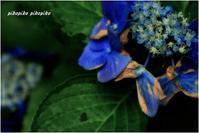 終わりの紫陽花 - 今が一番