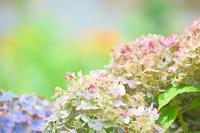 花畑今日の紫陽花 - 前を向いて「ひまわり」