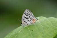 ウスイロオナガシジミ札幌ゼフの旅(その2) - 蝶のいる風景blog