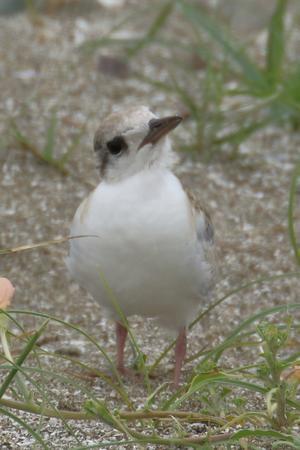 魚を食べては飛ぶ練習に励むコアジサシの雛たち(千葉県検見川浜) - 旅プラスの日記