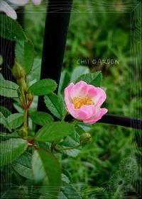 返り咲きのバラたち - どんぐりの木の下で……