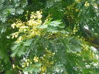 高木のアカシア・エラータの開花です。 - デジカメ散歩悠々