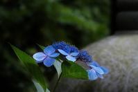 紫陽花終い花 - ♪一枚のphotograph♪