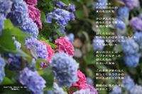 紫陽花 - 陽だまりの詩