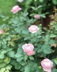 カミキリパラダイス♫とロマンティックレース、シャルドネの2番花♡ - 薪割りマコのバラの庭