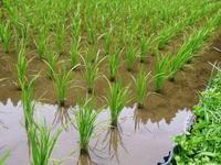 米作りの挑戦(2020)田植えから1ヶ月が過ぎましたが、大雨で大ピンチです! - FLCパートナーズストア