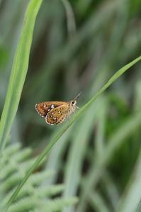ジッと佇むホソバセセリとクロヒカゲモドキ - 蝶超天国