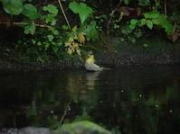 鳥さんたちのお風呂。 - ヒロムシ君のお散歩日記