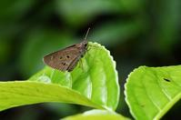 クロボシセセリ・・・2回目 - 続・蝶と自然の物語