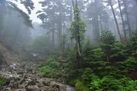 源流のツルアジサイとバイケイソウ弥山 - 峰さんの山あるき
