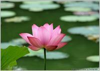 蓮の花 - 野鳥の素顔 <野鳥と日々の出来事>