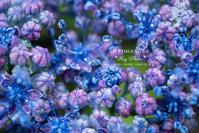 朝の紫陽花 - Rey Photo