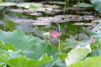 蓮にカワセミ - azure 自然散策 ~自然・季節・野鳥~