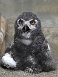 シロフクロウの赤ちゃん - 動物園放浪記