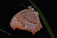 鉢伏山虫など - 不定期更新 彩都付近の自然観察日記