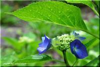 紫陽花(豊平公園) - 北海道photo一撮り旅