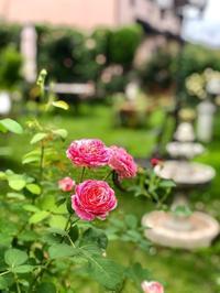 クロードモネ、ルポールロマンティークの2番花♡と、溶けてるヽ(;▽;) - 薪割りマコのバラの庭