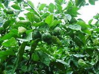無農薬栽培の『種なしかぼす』令和2年度も着果し順調に成長していました! - FLCパートナーズストア