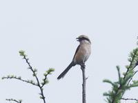 霧ヶ峰でモズを撮影しました - コーヒー党の野鳥と自然パート3
