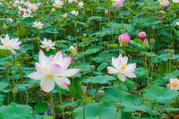 蓮の花 - マクロフォトトラベラー by PlumCrazy