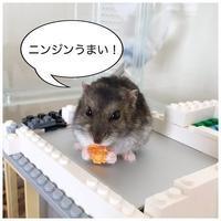 ハムスターもすけ、おやつはニンジン一択! - 花暮し HANAGURASHI