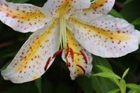 公園の花壇で咲くヤマユリ。モントブレチア - 子猫の迷い道Ⅱ