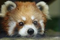 釧路市動物園の旅行記を姉妹ブログ「レッサーパンダ紀行」にアップしました - (続)レッサーパンダ紀行