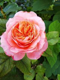 雨の中の庭の花 - 小庭の園芸日記