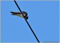 ツバメ幼鳥電線で一息-2 - 野鳥の素顔 <野鳥と日々の出来事>