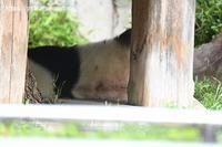 2020年6月王子動物園6その1朝いちプールのみゆきさん - ハープの徒然草