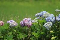 紫陽花 - 都忘れと忘れな草