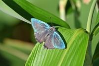 ジョウザンミドリシジミ札幌ゼフの旅(その4) - 蝶のいる風景blog