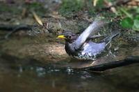 クロツグミの豪快な水浴び - 上州自然散策3
