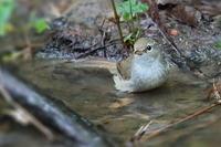 ウグイスの若鳥 - 上州自然散策3