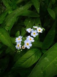 忘れな草とスジグロシロチョウ ニジマスと梅花藻etc... - 花追い日記